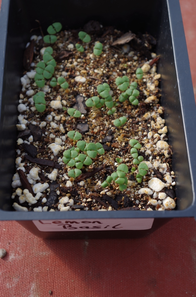 Lemon Basil Seedlings