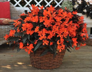 Begonia Unstoppable Fire