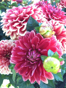 Go-Go Two Tone Red Dahlia
